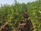Prodaja voćnih sadnica  5BdeA