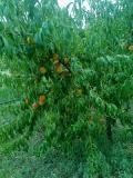 Prodaja voćnih sadnica  B3X2U