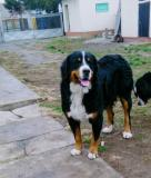 Na prodaju stenci bernskog planinskog psa, dva legla TMikr
