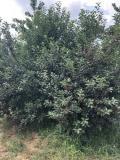 Prodajem vocnjak u punom rodu (visnja i tresnja) V2NY7