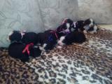 Na prodaju stenci bernskog planinskog psa, dva legla VB67I