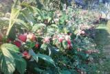 Prodajem sadnice: Paulovnije (Elongat), kupine (Loh Nes), maline (Crni Vilamet) DDJhD