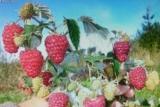 Prodajem sadnice: Paulovnije (Elongat), kupine (Loh Nes), maline (Crni Vilamet) H95cy