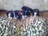 Na prodaju stenci bernskog planinskog psa, dva legla HMt4Z