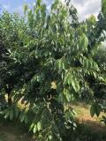 Prodajem vocnjak u punom rodu (visnja i tresnja) Mc6oo