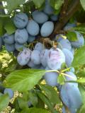 Preko 200 sorti raznih sadnica voca! WbMmI